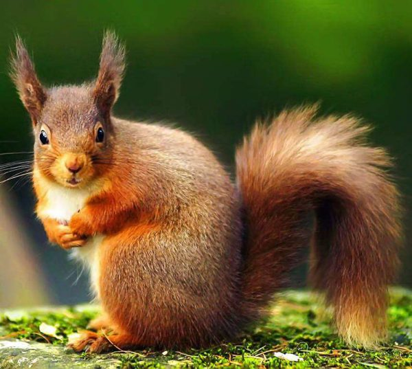 Help Logs Direct save the red squirrel