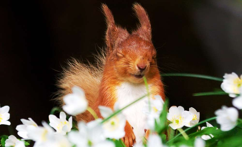 Help Logs Direct save red squirrels by making a small £2 donation