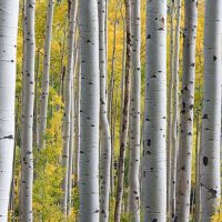 The silver birch is notable for its white bark, which peels off in layers, leaving the tree black and rugged at its base.