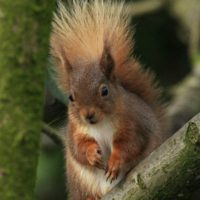 Restoring Rusland's Red Squirrels